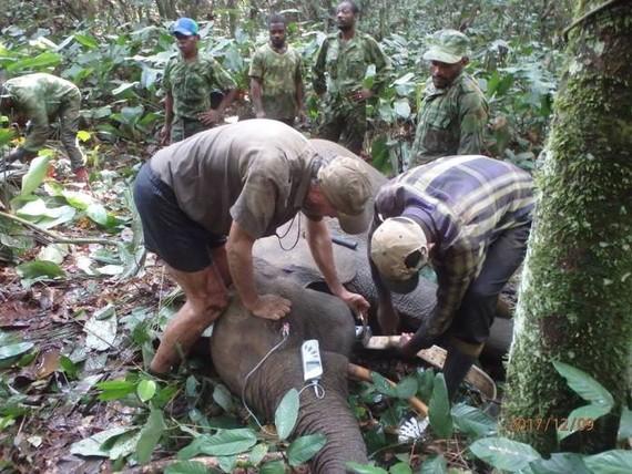 Gabongo elefanteak GPS bidez jarraituko dituzte ezkutuko ehiza sahiesteko