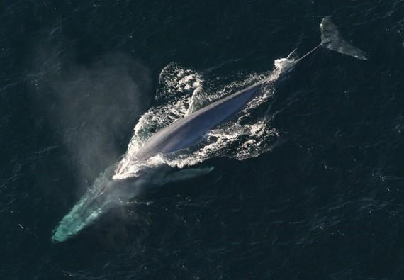 Balea urdina: munduko animaliarik handiena Bizkaiko uretan