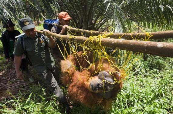 100.000 orangutan hil dituzte azken 16 urteotan Borneon, populazioaren erdia