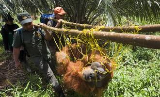 Orangutanak hilda