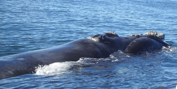 Euskal balea (E. glacialis) 2040. urterako desagertu daiteke; azken urtean ez da balearik jaio