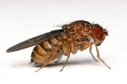 ozpin eulia drosophila