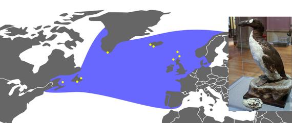 pinguinus duka